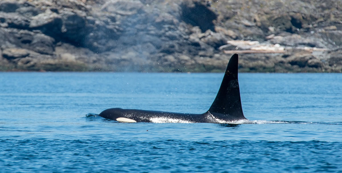 Orca - Photo by Don Butt