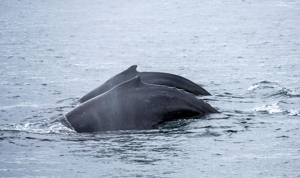 Humpback Whale - Photo by Don Butt