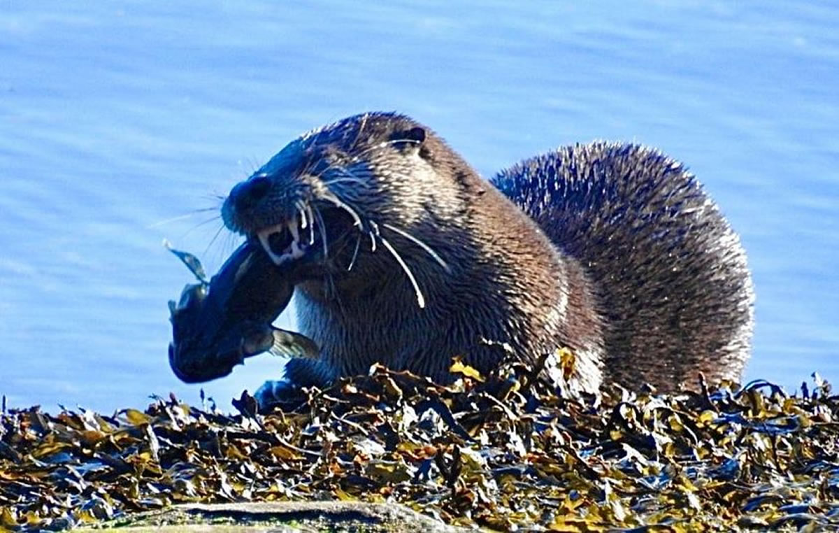 Otter eating fish - Photo by  Lee Watson