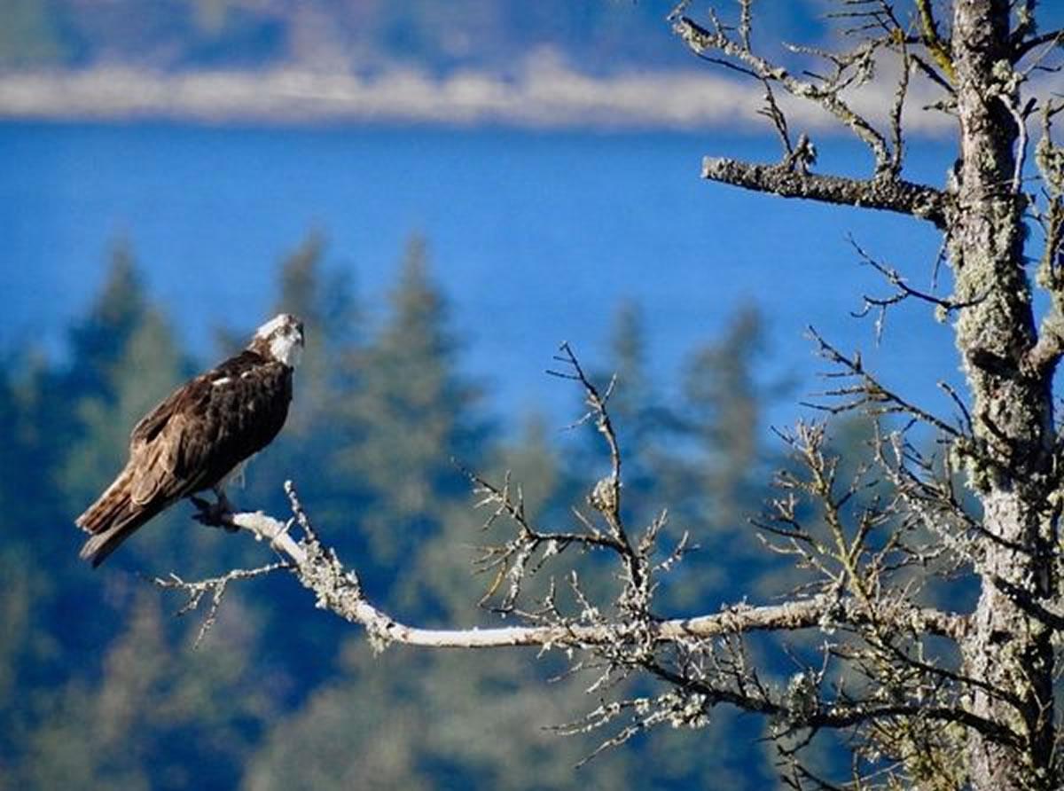 Osprey  Photos by Lee Watson